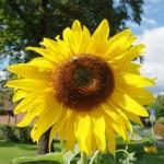 Sonnenblume im Garten des Altenpflegeheims Borna